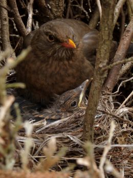 Young Blackbirds with Mom