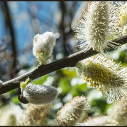 Willowcatkins