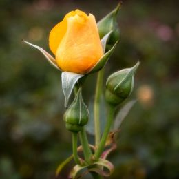 Hopeful autumn rose Picture