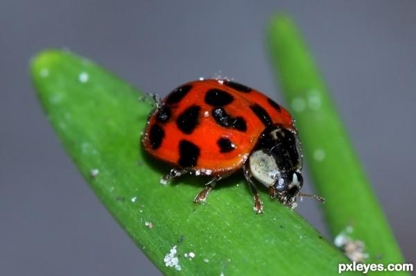 Ladybug Ladybug Rhyme