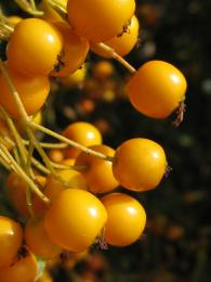 YellowBarberry
