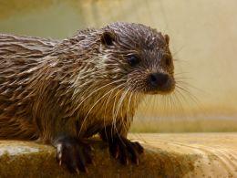 O for Otter