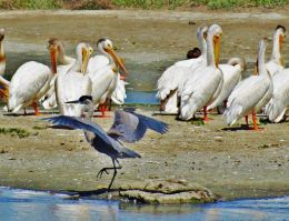 Sneaking past the pelicans