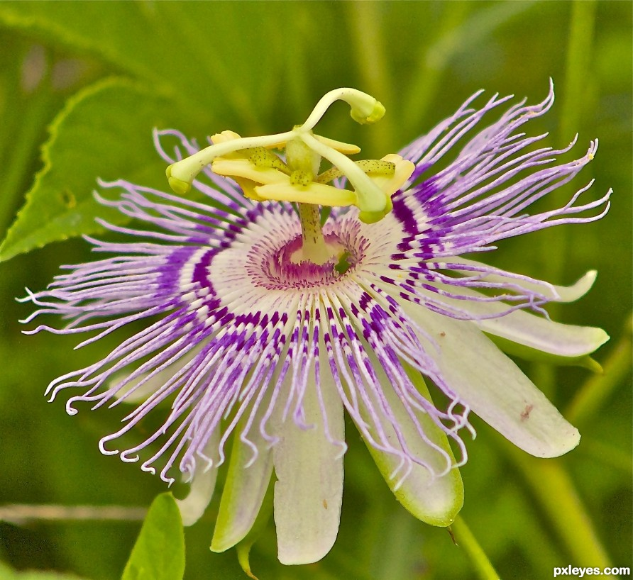 Tennessee State US - wildflower - Passion flower