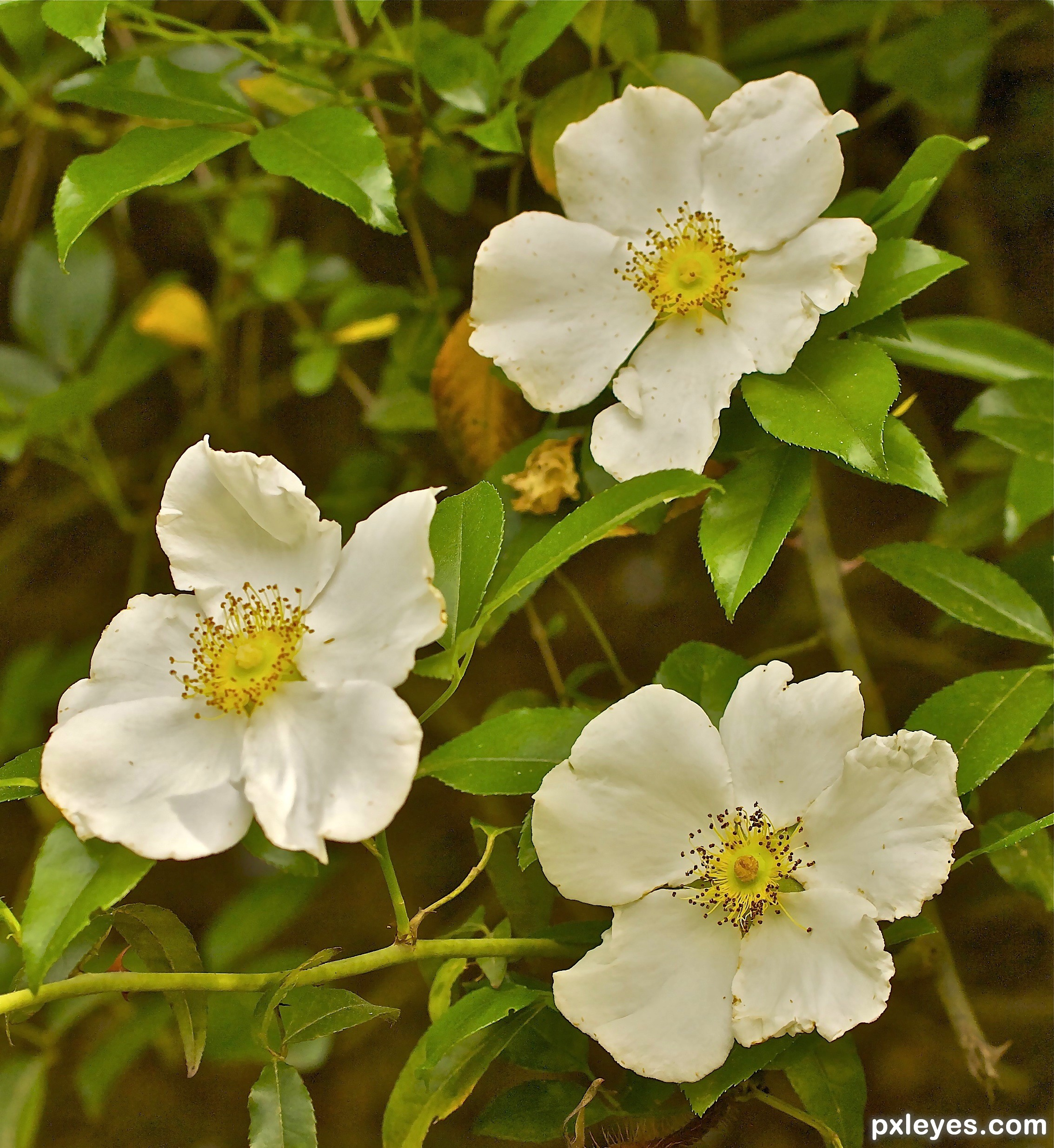 Cherokee Rose State Flower Of Georgia Picture By Janoogee