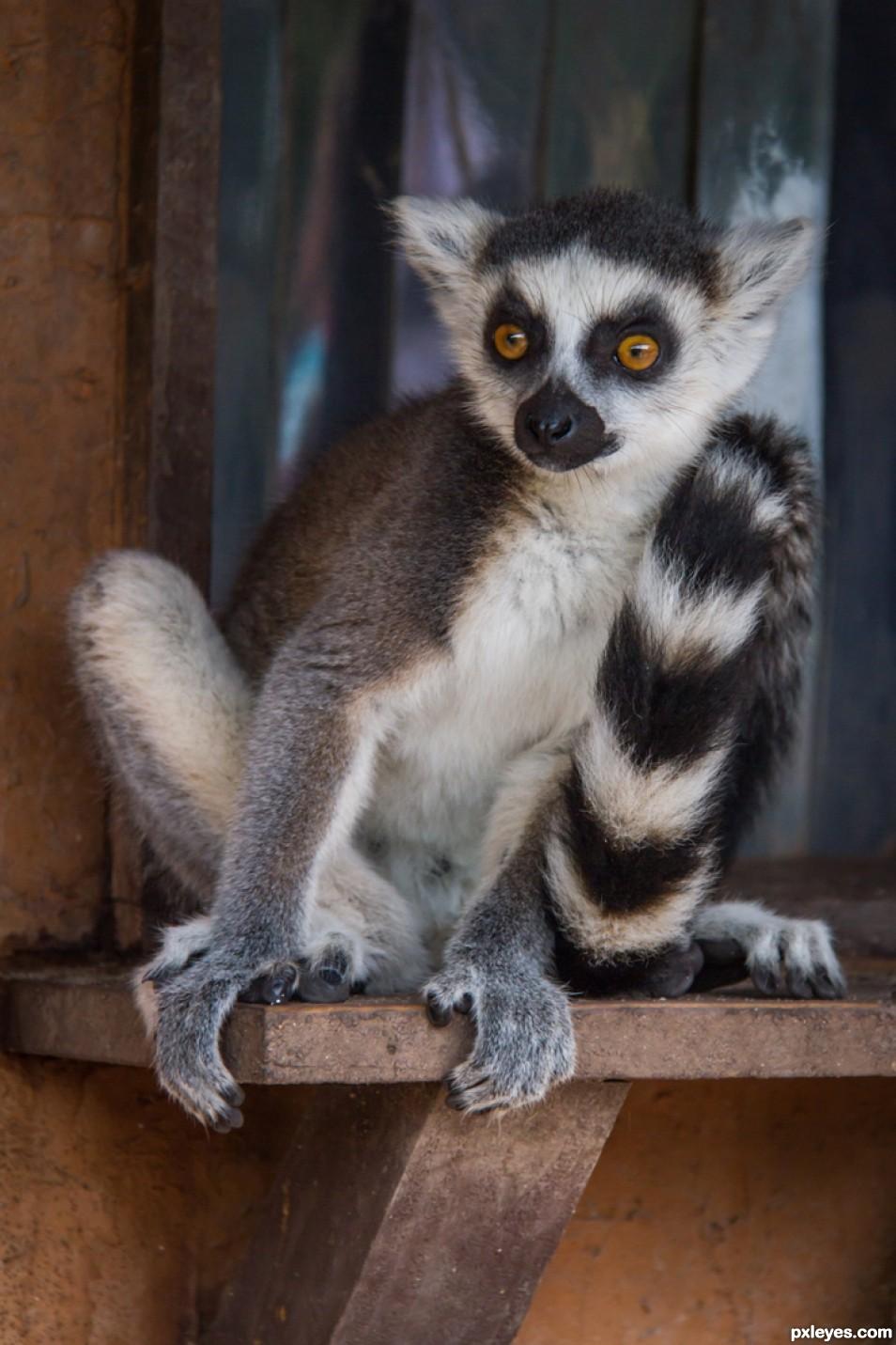 Madagascar - Lemur