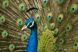 India - Peacock Picture