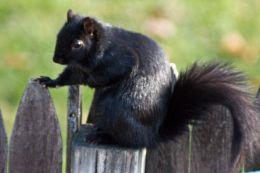 Black squirrel western ma