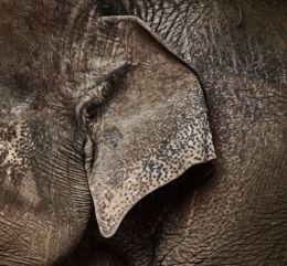 Elephant Ear Picture