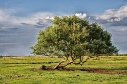 Lonely Oak Tree Picture