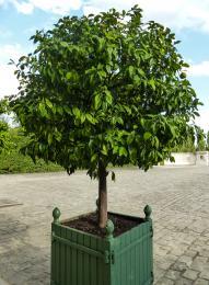Citrustree