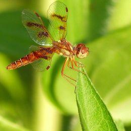 AmberWingDragonfly