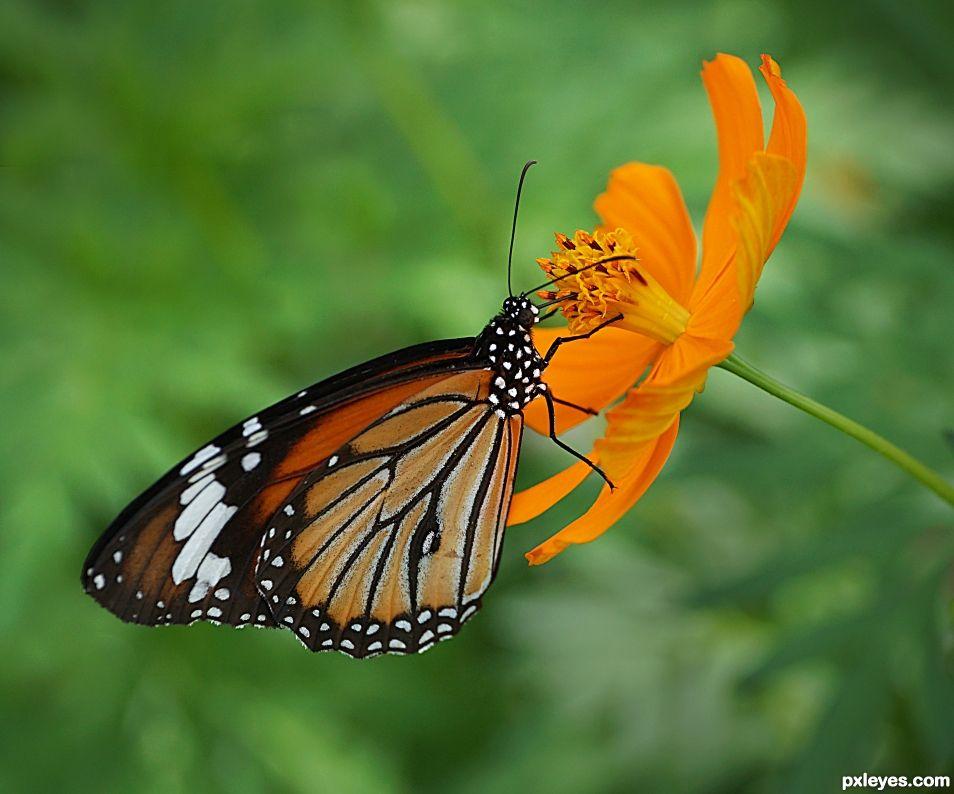 Monarca Naranja
