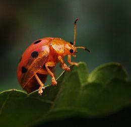 An Orange Ladybug