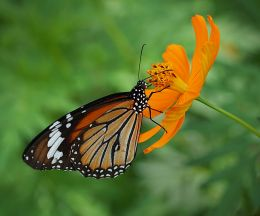 Monarca Naranja Picture