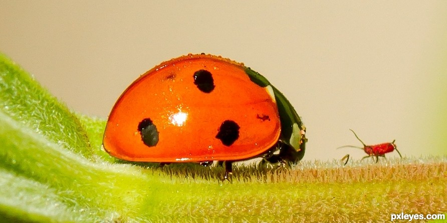 Faceoff-Lady bug vs aphid