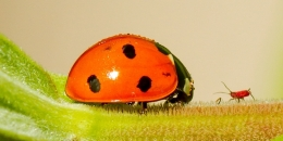 Faceoff-Lady bug vs aphid Picture