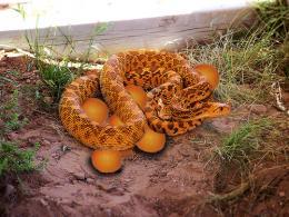 orangesnake