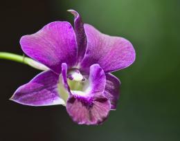 Magentaorchid