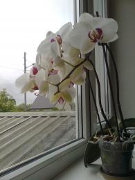 Schoolsorchid