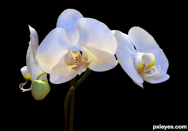White Orchid photoshop picture)