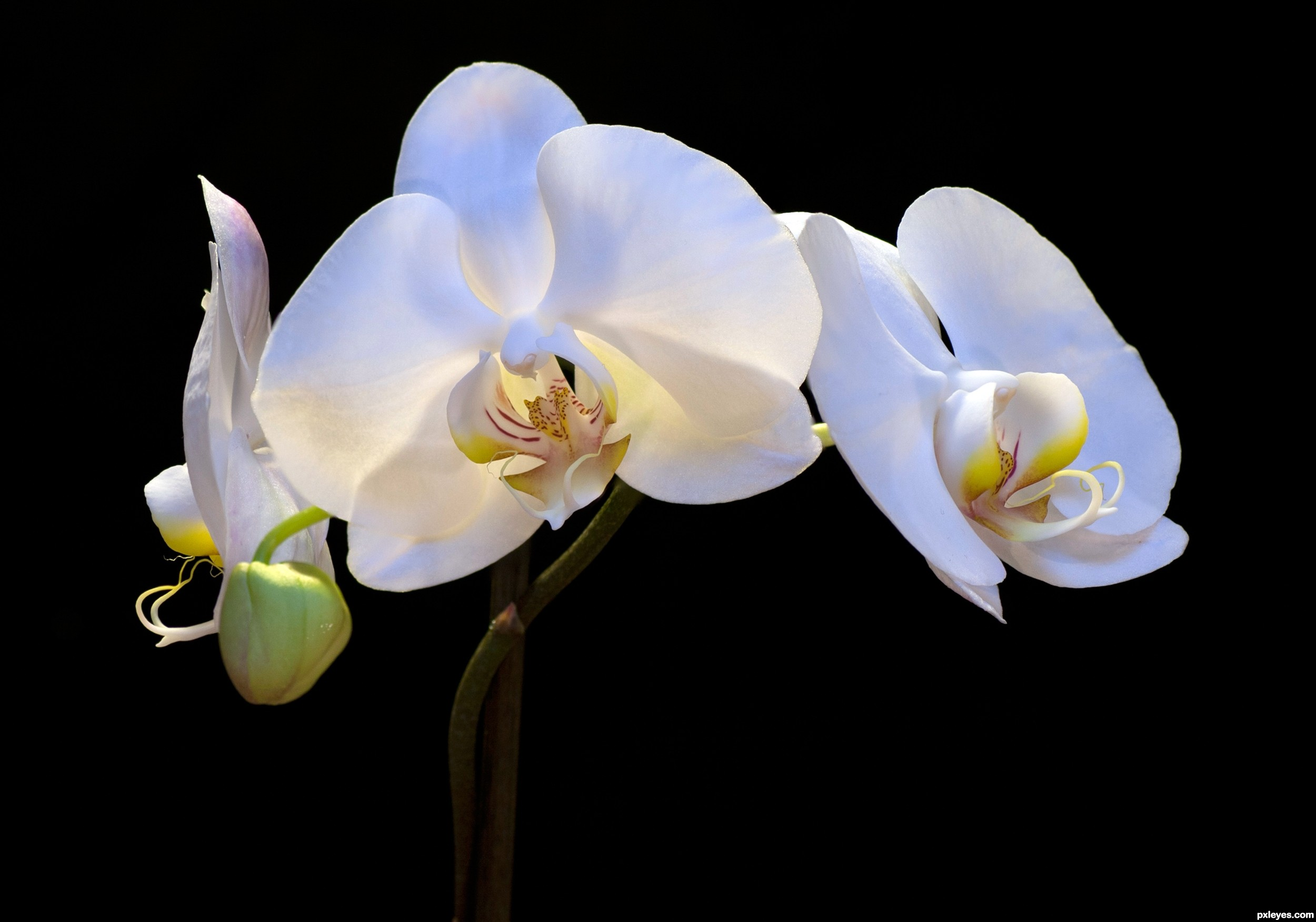 White orchid picture by friiskiwi for orchids - White orchid flowers desktop wallpapers ...