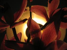 orchidagainstthelight