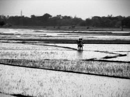 Flooded Paddy Fields
