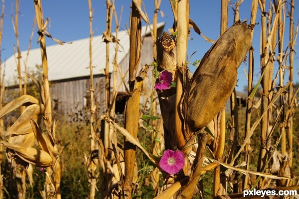 Enchanted Cornstalk