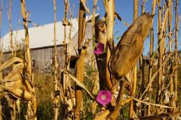 EnchantedCornstalk