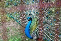 Peacock,the Queen of Birds