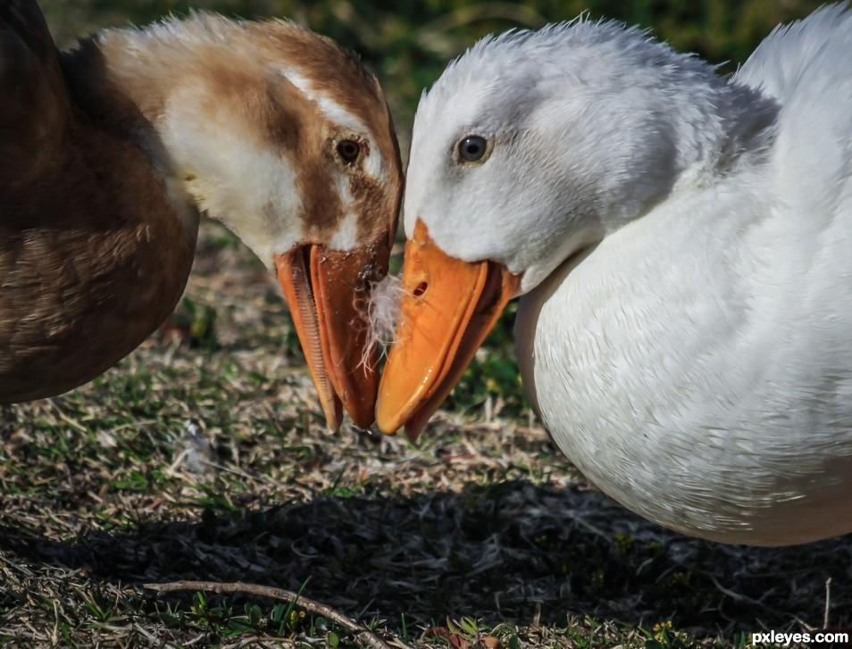 Dueling Ducks