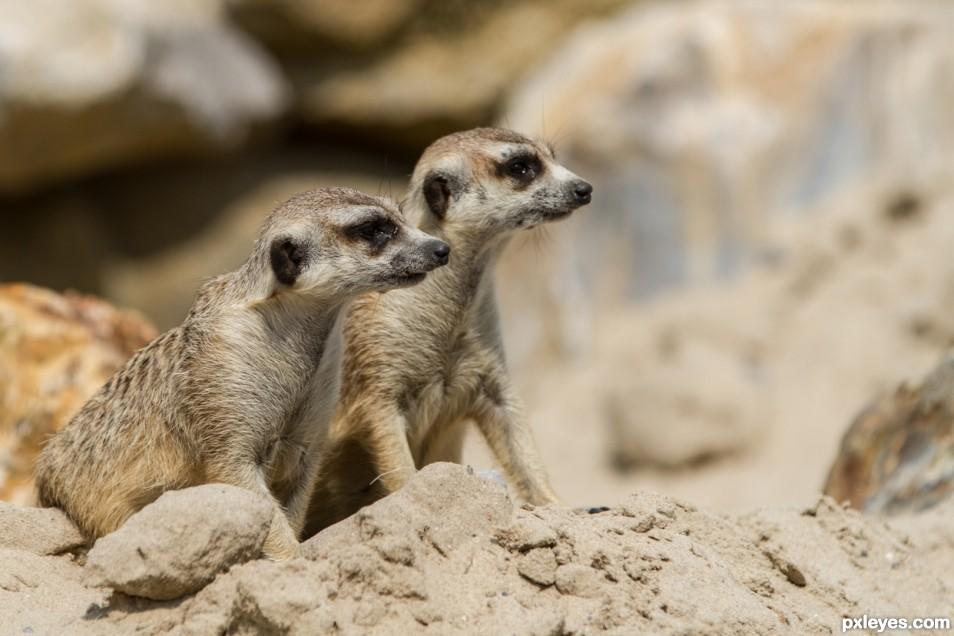 Pair of meerkats
