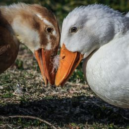 DuelingDucks