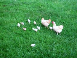 Chickens Picture