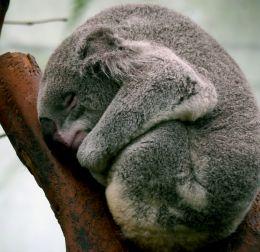 In Koala dreamland