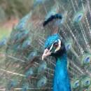 peacock photoshop contest