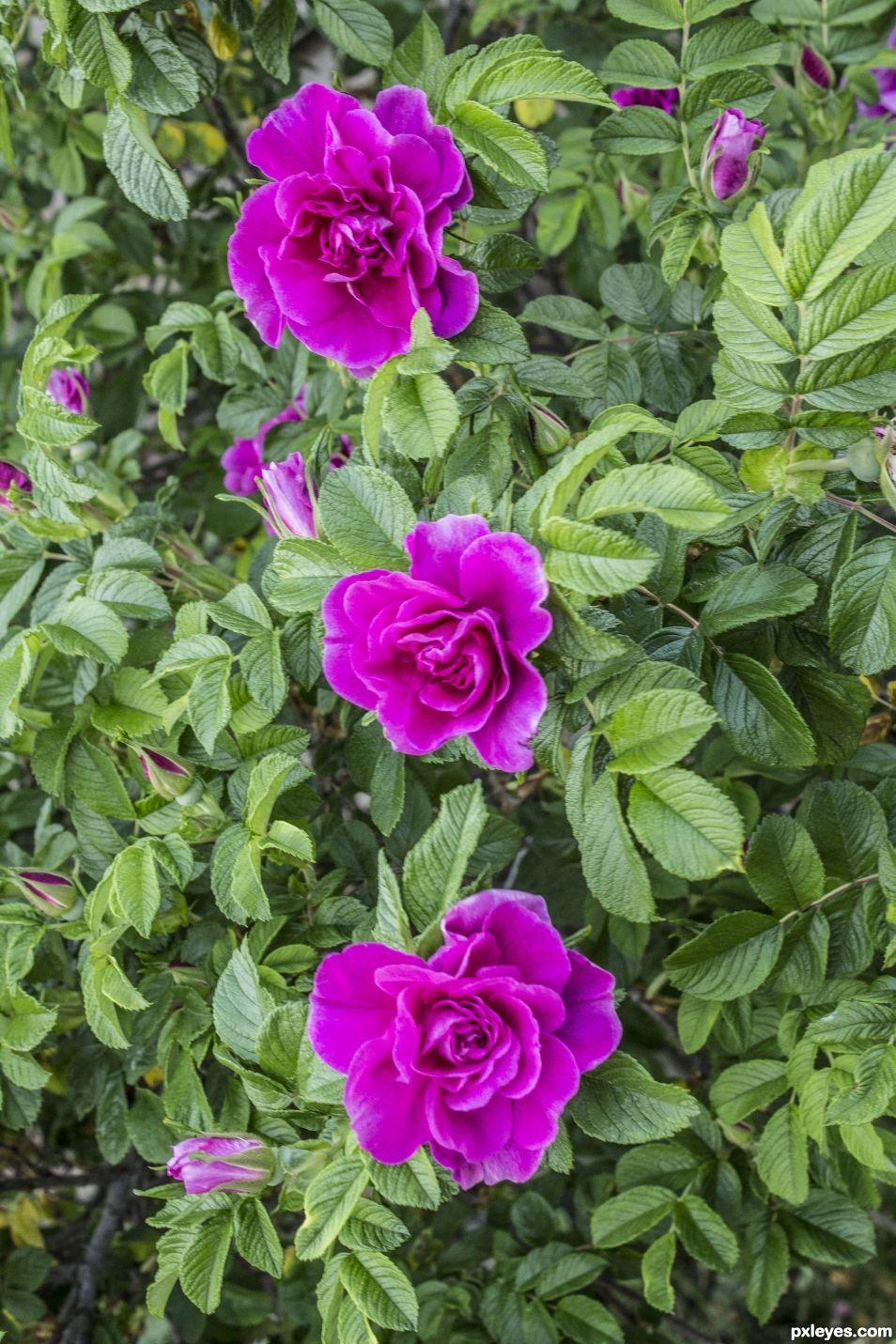 3 pink roses June 2016