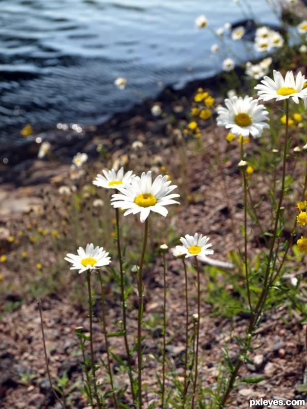 The Field Daisy