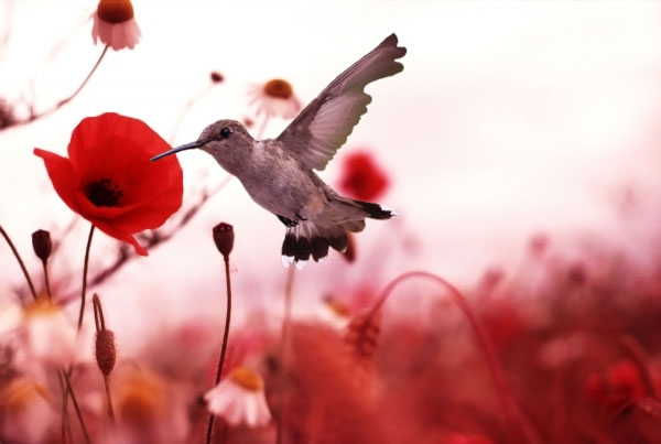 Hummingbird in the Poppy Field