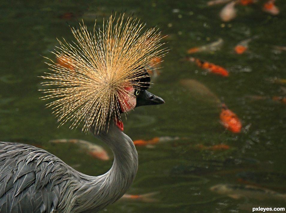 Golden Crown Hen
