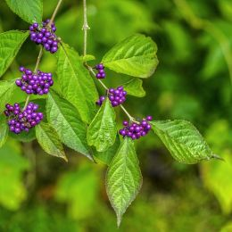 purpleberries