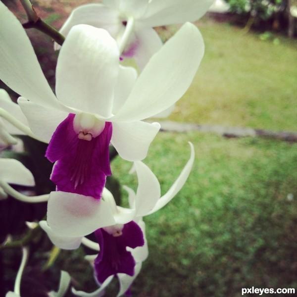 White Violeta