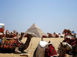 CamelsResting