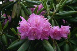RhododendronCoveredwithDew