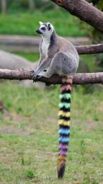 Rainbowtaillemur