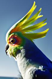 The Rainbow Cockatoo