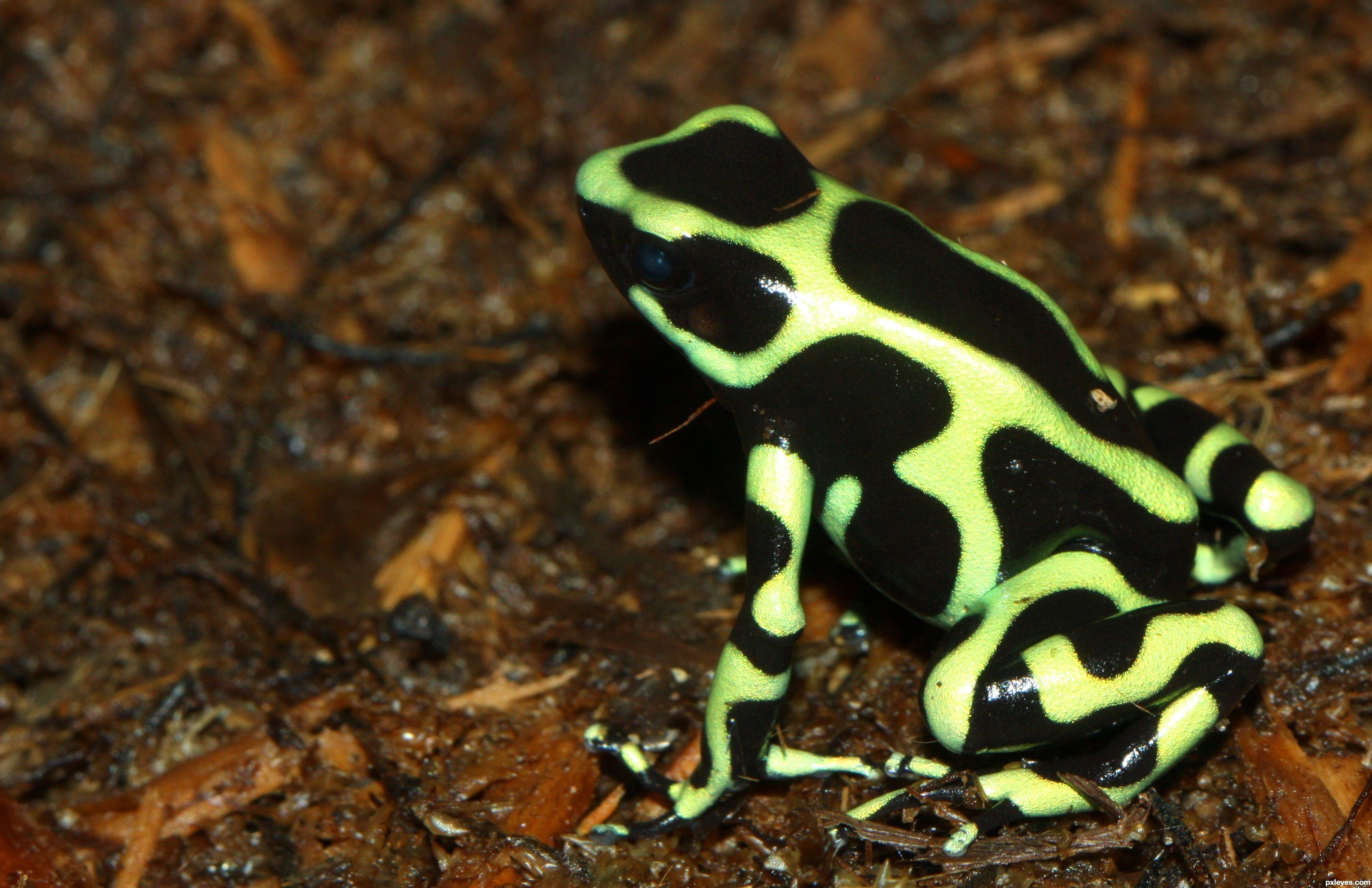 poison dart frog Dart frogs got their name because hunters would tip their arrows in the frog's poisons sadly, because people are cutting down rainforests for farming and ranching, poison dart frogs are at risk the blue poison dart frog is the most endangered due to the pet-shop market.