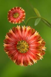 RareRedSunflowers