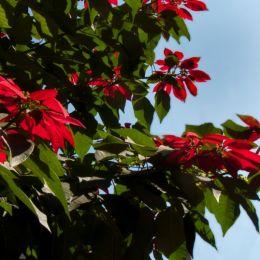 PoinsettiaMadagascar